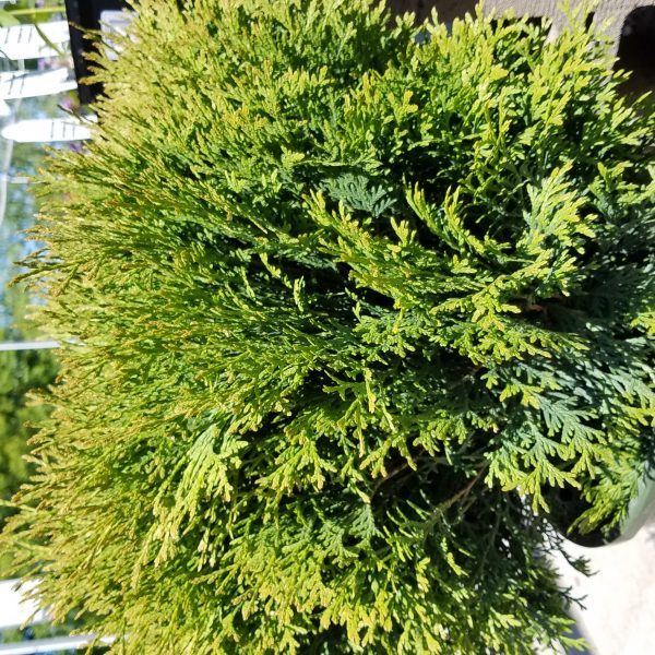 Little Giant Dwarf Arborvitae	 	 	Categories Garden Garden Plants Perennials Shrubs